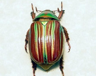 Valentine's Day Gift Real Jewel Scarab Rare Beetle Green Orange Plusiotis Adelaida 8241