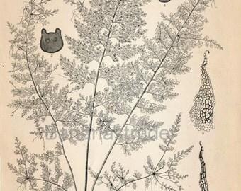 1936 Japanese Large Vintage Botanical Print. Asplenium tenuissimum, Hayata. Plate 306