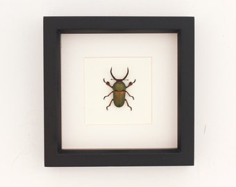 Real Framed Beetle Insect Display Archival Quality