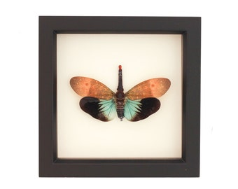 Framed Lanternfly Insect Display Pyrops pyrorhyncha