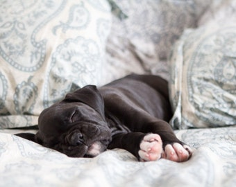 Puppy Sleeping in Bed - 8x10 Boxer Dog Photography Art Print