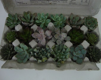 18 BareRoot Succulents in Natural Egg Carton - Assorted - diy, Wedding, Favors, Centerpieces, Gardens