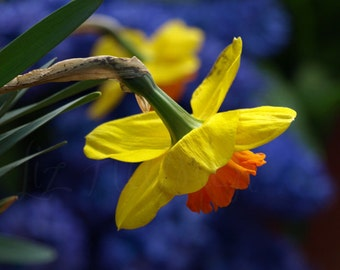 Daffodils - 8 x 10 Spring Flower Photography by Liz Hutnick, Wall Art, Home Decor, Yellow and Purple Color Photography
