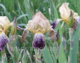 IB Bearded Iris GYPSY QUEEN, 1859 Historic