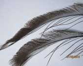 "2 Brown Peacock Feather Swords  - stems 10-12"" long"