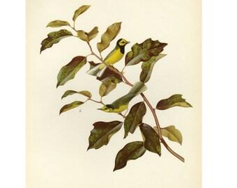Vintage Hooded Warbler by Athos Menaboni Bird Book Plate SALE Buy 3, get 1 free