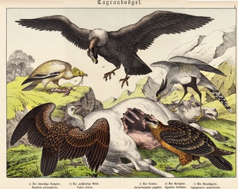 1886 Antique BIRDS of  PREY print, fine chromolithograph of Vulture, condor, scavenger birds,  126 years old gorgeous large size
