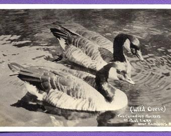 Vintage Real Photo Postcard RPPC Two Canadian Honkers, Wild Geese, Paul Lake near Kamloops British Columbia Canada Unused Post Card