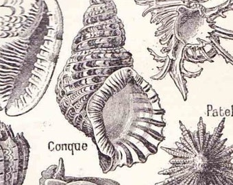 Beautiful Antique French Print 1920s Engraved iIlustrations shells shellfish molluscs Book Page