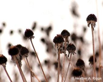 Winter daisy heads, sepia, brown, nature, garden, black-eyed Susan, outdoors, cream, photograph