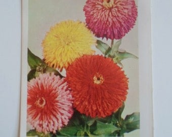 Vintage 1960s Hybrid Zinnia   Spring Summer Flowers Book Plate Reds Yellow Pink Photo