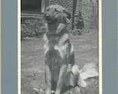 Vintage Matted Photograph Photo Snapshot Golden Retriever Dog Posed On Lawn Brick House
