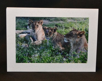 Orioginal Photography Note Card - Lion 1