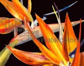 """Southwest Desert Flower, Red, Orange, Black Watercolor Painting Giclee Print Wall Art, Home Decor """"Bird of Paradise"""" by Stein Watercolors"""