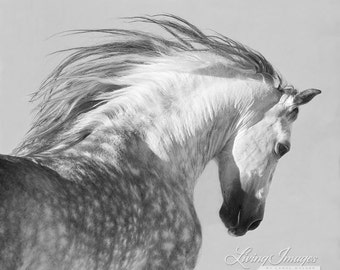 Spanish Stallion Tosses His Head -  Fine Art Horse Photograph - Horse - Black and White - Andalusian