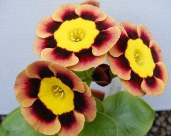 Heirloom 300 Seeds Primula acaulis Hybrid Primrose Polyantha Gigantea Flower Bulk Seeds S101