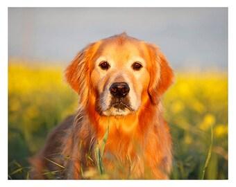 Fire Dog, Golden Retriever Dog Photography, Fine Art Print or Greeting Card