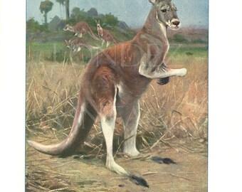 1916 Antique Red Kangaroo poster Vintage kangaroo art Australian animal poster wildlife poster Red Kangaroo poster Kangaroo decor gift