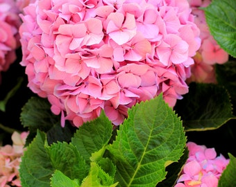 Hydrangeas  - Beautiful Summer Flowers Photo Print - Size 8x10, 5x7, or 4x6