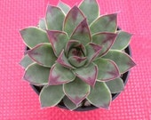 Succulent Plant - Hen's and Chicks Sempervivum Tectorum