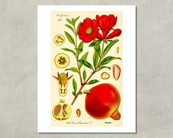 Pomegranate Botanical Print, 1885 - 8.5 x 11 Print -  also available in 11x14 and 13x19 - see listing details
