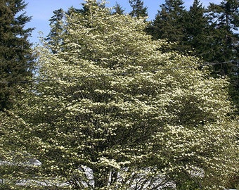 1000 Pacific Dogwood Tree Seeds, Cornus Nuttalli