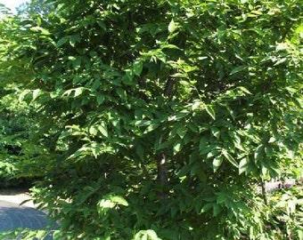 50 Heartleaf Hornbeam Tree Seeds, Carpinus cordata