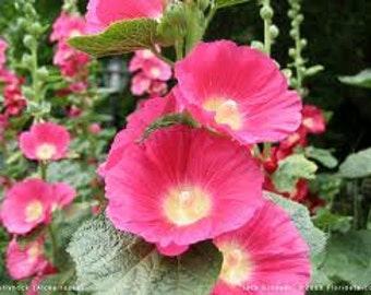 Heirloom Hollyhock Majorette Double Champagne Seeds, Perennial Flower, 10 Seeds