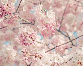 Large Wall Art, Flower Photograph, Pastel Pink Cherry Blossoms, Fine Art Photography Print, Shabby Chic, Feminine, Nursery Wall Art