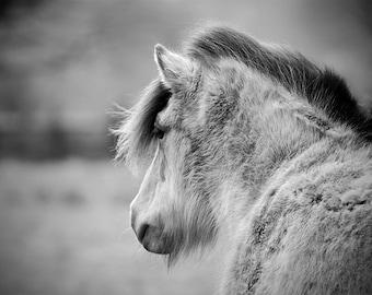 Icelandic horse, icelandic pony, horse photo, equine art, equestrian decor, choose the size