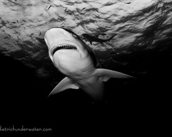 Black and White Shark by Underwater Photography Artist Craig Dietrich Printed on Vibrant Metallic Paper. Choice of black or white matte