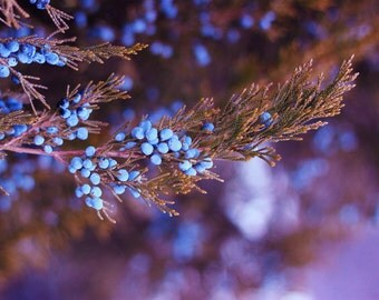 Photography Fine Art Nature Print * Large Nature Photography Wall Decor Print- Blue Pine Tree