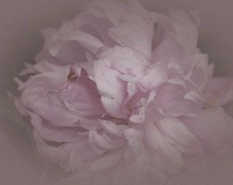 Pastel Pink Peony, Platinum, Dreamy Look, Fine Art Photography