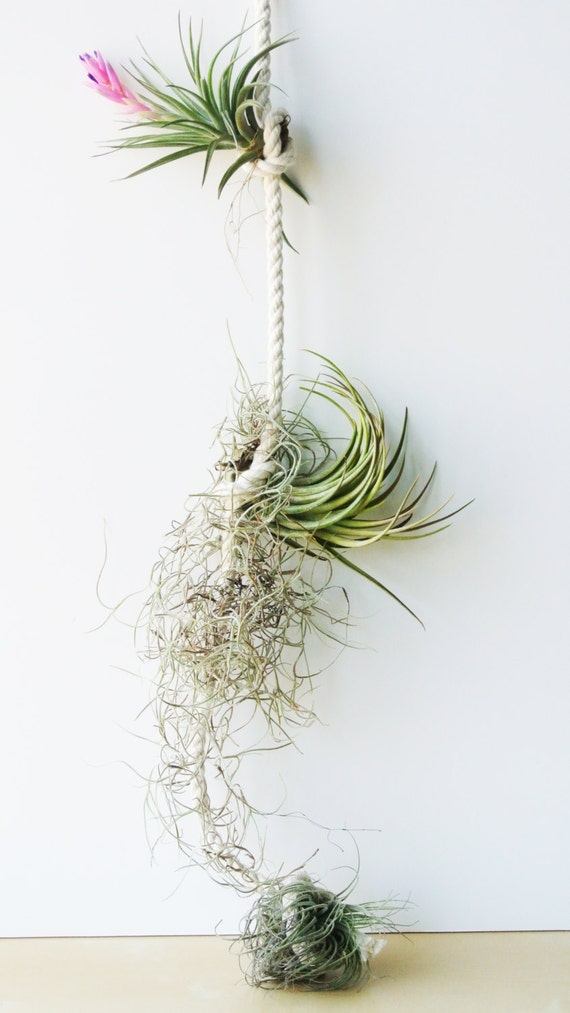 Air Plant Rope - Succulent Terrarium, Home and Living, Gift, Plant, Living Home Decor, Glass Vase, Planter, Gothic, Modern, Minimalistic