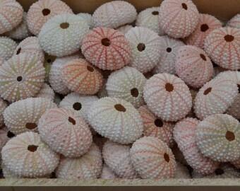 100 Pieces Pink URCHINS Sea Shell Beach Wedding