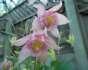 Columbine seeds, Pink Columbine flower, perennial flower, shade garden seeds, flower seeds