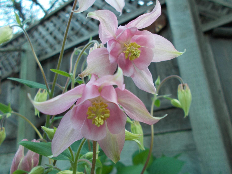 Columbine Seeds Pink Columbine Flower Perennial Flower