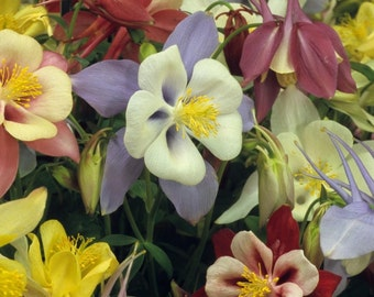 Aquilegia seeds, flower seeds, gardening, spring flowers seeds, code 23, colorful flowers, greek flowers seeds