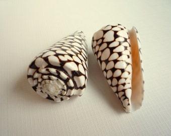 "Marbled Cone Seashell 3-4"" - 1pc - Beach Decor - Conus Marmoreus - Black, Brown and White"
