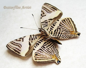 Zebra Mosaic Colobura Dirce Real Peruvian Butterfly Framed In Shadowbox
