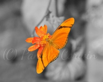 "Butterfly art: black white orange butterfly print Julia Heliconian butterfly 8x10"" print pop of color photo"