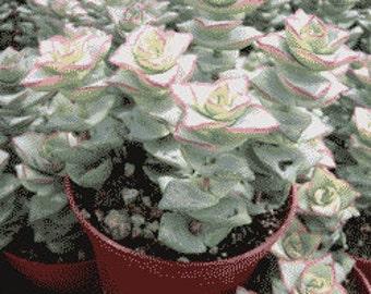 Crassula Perforata Succulent Plant