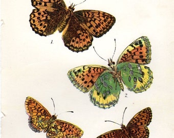 1896 Antique Butterfly Print  Vintage Butterfly Print