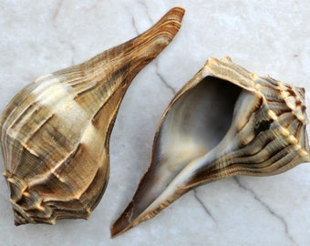 "Lightning Whelk (4-6"") - Busycon Contrarium"