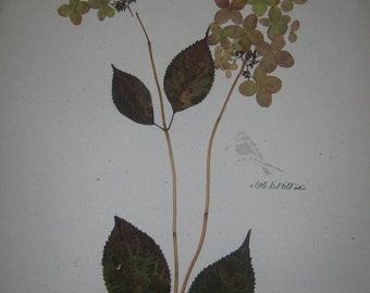 Herbarium natural dried hydrangeas