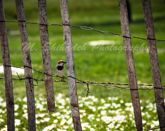 Bird on a Fence - Fine Art Nature Photography Print