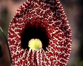 VikkiVines ~ Large ARISTOLOCHIA ELEGANS VINE ~ Dutchman's Pipe/Calico~ Easy To Grow Garden Wonder! 15 Seeds CVGG23