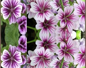 ZEBRINA HOLLYHOCK Seed - STUNNING French Hollyhock ~ Contrasting Violet Stripes - Malva Zebrina Flower Seeds