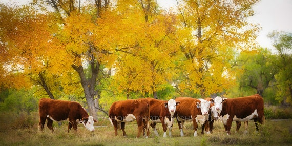 Items Similar To Hereford Cattle In Beautiful Fall Foliage
