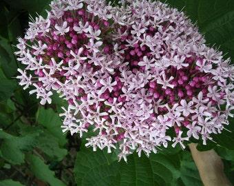 3 Clerodendum bungei *Mexican HYDRANGEA Plant/ lilac/purple bloom
